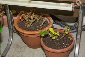 Pflanzen überwintern im Keller